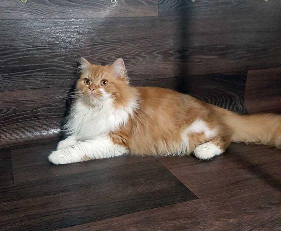 Шикарный шотландский котик- лучший подарок любимым