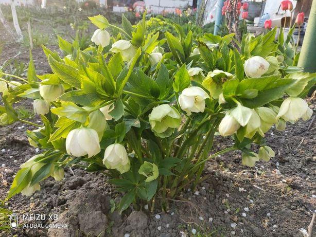 Морозник ( белый с зелёными прожилками(