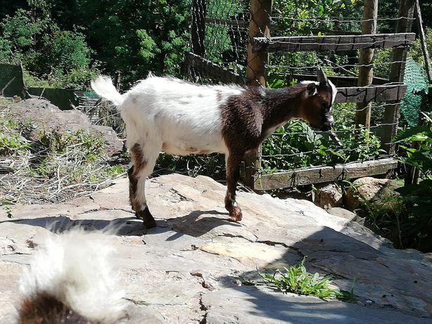 Cabra anã macho 6 meses