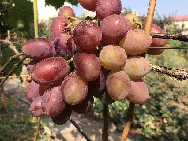 Продам кусты винограда