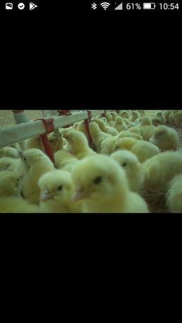 Суточный цыпленок Бройлер