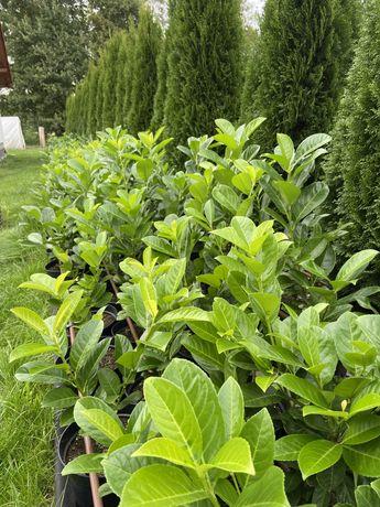 Laurowiśnia Rotundifolia Caucasica