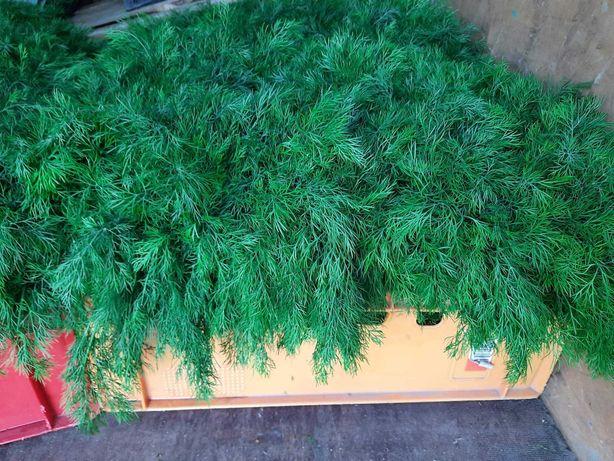 Sprzedam koper ogórki zielony
