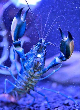 Cherax Pulcher (Blue Moon) rak akwariowy.