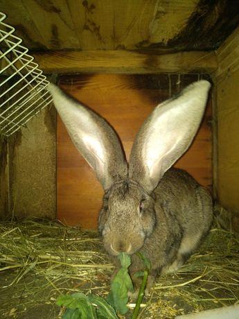 Кролик кролі кроликі