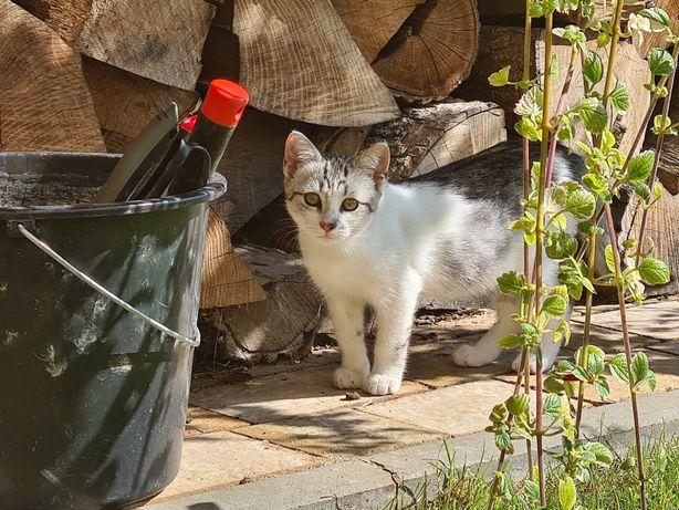 Oddam kotka szaro-białego