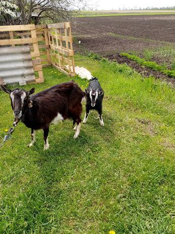 Продам козу з козеням.