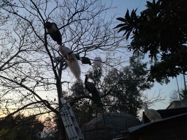 pavoes adultos habituados a temperatura ambiente,varios à solta