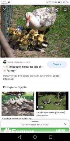 Kaczki kaczka francuska