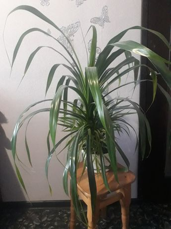 Панданус, многолетняя комнатная пальма.