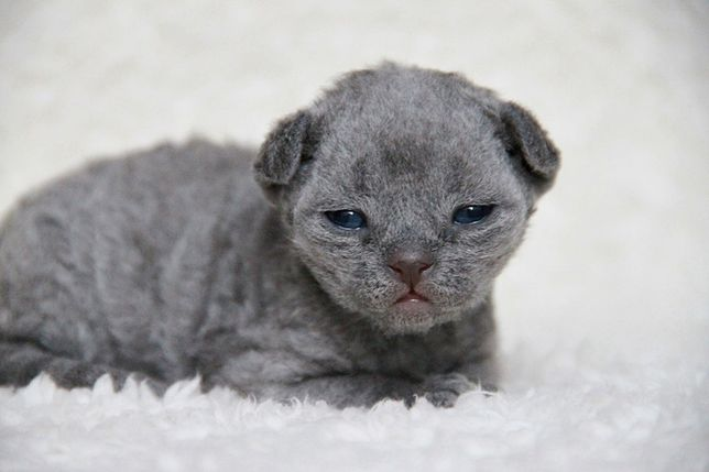 Niebieski kocurek Devon Rex
