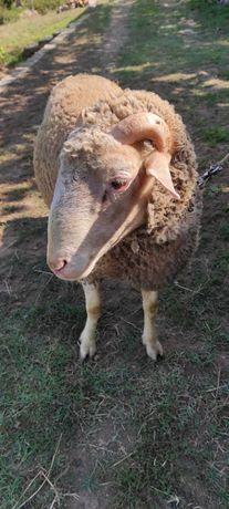 Vendo carneiro com 1 ano e meio