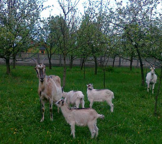 Młode kozy i koziołki