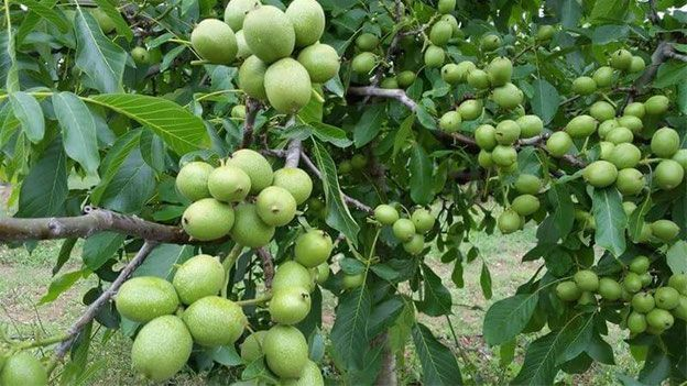 Саженцы низкорослого гроздевого грецкого ореха.