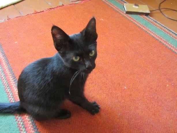 отдам красивого черного котенка мальчика 7 месяца