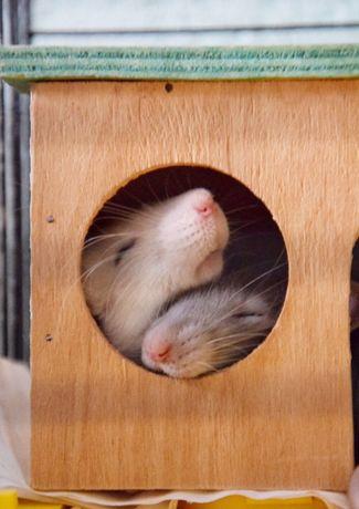 Передержка грызунов (крысы, хомяки)