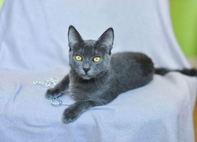 В поисках заботливого хозяина ласковый серый котенок Маугли (4 месяца)