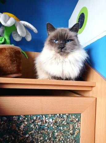 Голубоглазая кошка балинез