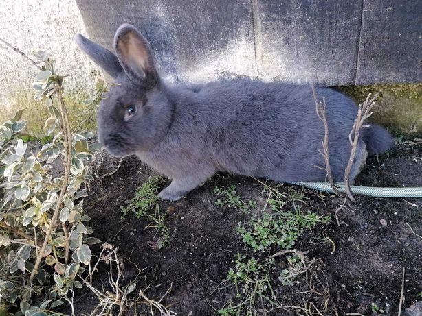 Sprzedam króliki samce Wiedenskie