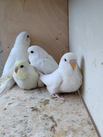 Papużki Faliste, Zeberki, wysyłka