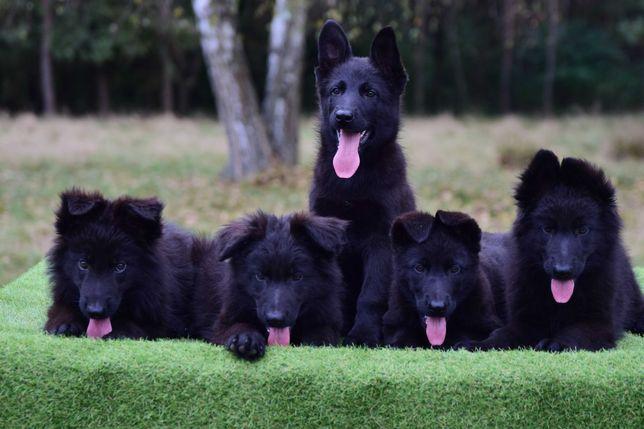 Owczarek niemiecki czarne szczeniaki