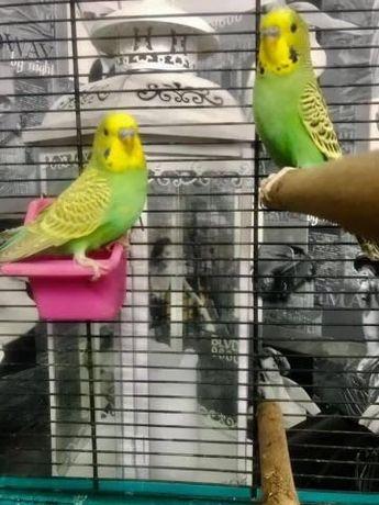 Sprzedam dwie papugi faliste