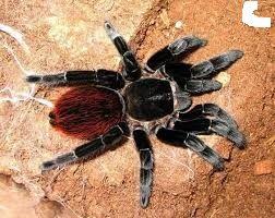 brachypelma vagans паук птицеед павук подарок