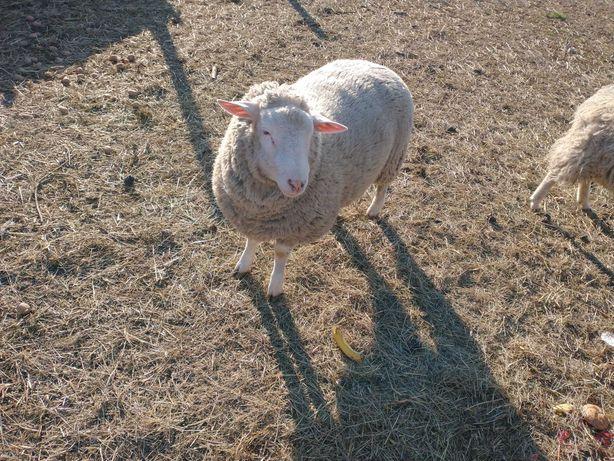 Owce białe zadbane