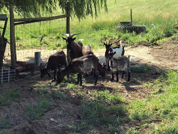 Cabras |  Cabritos | Chibo