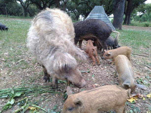 Porco Ovelha