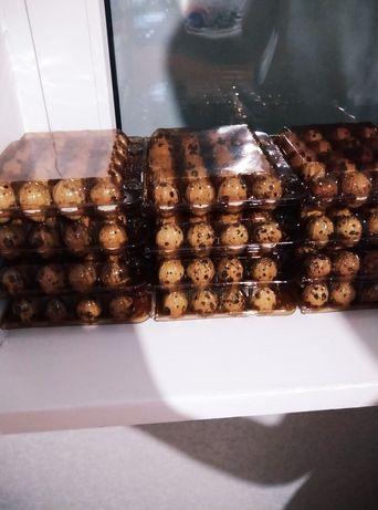 Перепелині інкубаційні яйця.Столові перепелині яйця мясо перепела.