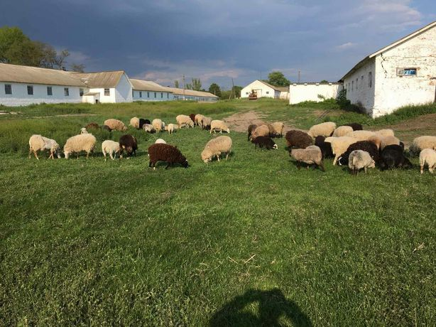 Продам вівці барани