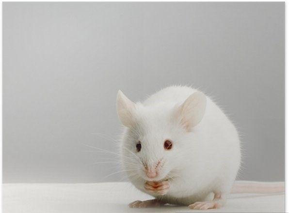 Myszy mrożone