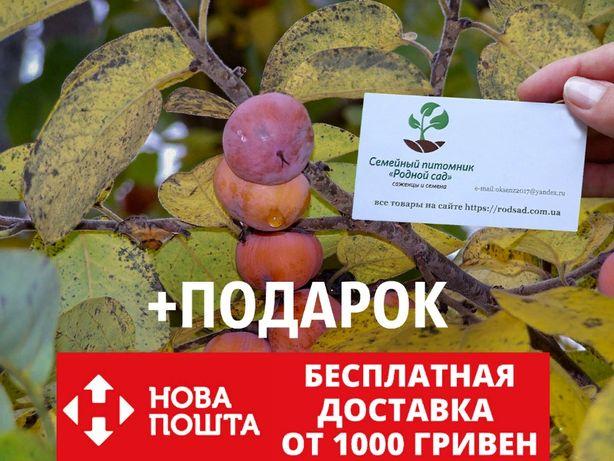 Хурма виргинская 20 штук семена/насіння для саджанців/саженцев+подарок