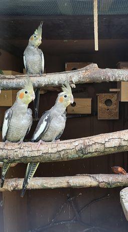 Papugi nify