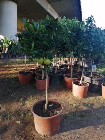 CAMPANHA 2019/2020 - Fruteiras/Árvores de Fruto/Plantas