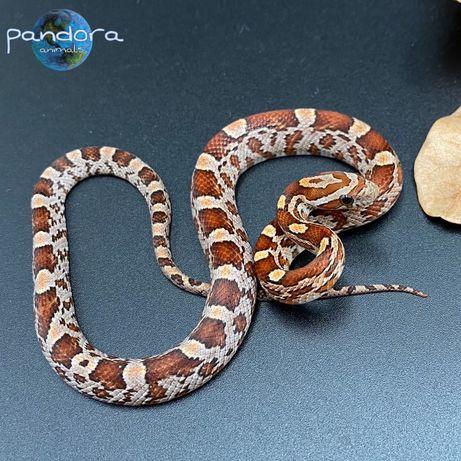Маисовый полоз Ручная змея Профессиональное разведение