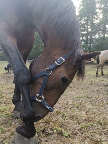 Obornik z dowozem od koni i kóz/ workowany