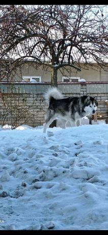 Аляскинский маламут ВЯЗКА