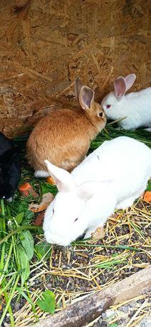 Młode króliki, 3,5 miesiąca