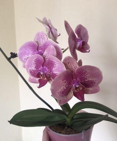Домашняя орхидея а-ля фестиваль, цветок 9,5 см. Отцвела