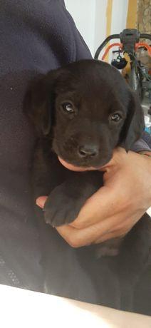 Cachorro Labrador - Preto