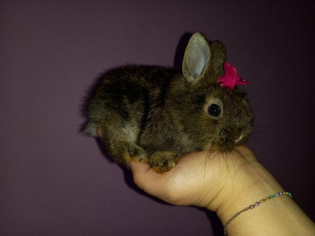 Króliczek królik tedyy karzełek brązowy malutki gratis WYPRAWKA
