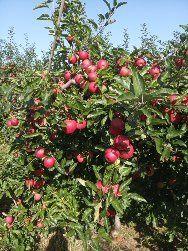 Jabłka prosto z sadu