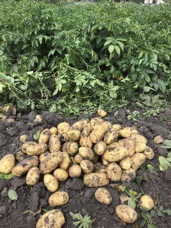 Ziemniaki  - prosto z pola - najlepsze żółte odmiany