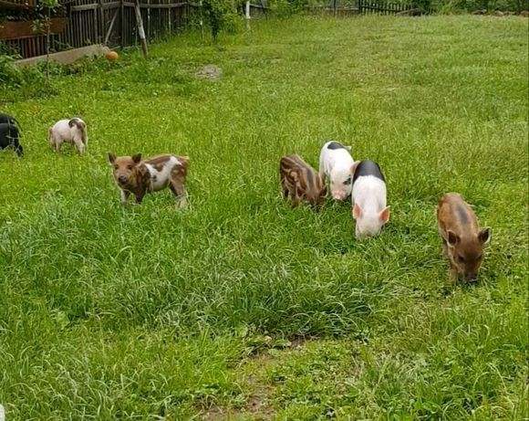 Вєтнамські свині свинки поросята Пацєтка
