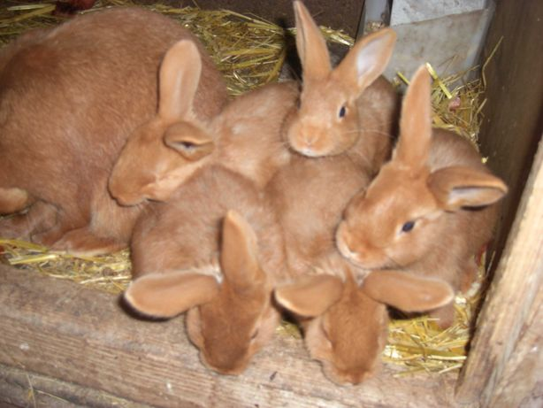 coelhas fouve de borgonha