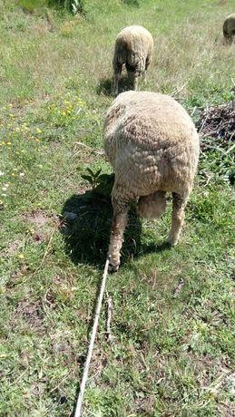 Vendo carneiro de raça Ille de Françe puro