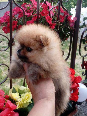 Piękny Malenki Pomeranianek