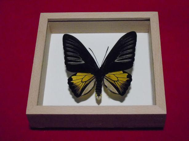 Motyl w gablotce12x12cm.Ornithoptera Troides.75mm